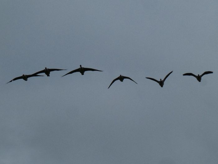 Geese in Flight Birds Of EyeEm  Isle Of Lewis Group Of Animals Bird Animal Themes Flying Animal Wildlife Animals In The Wild Animal Vertebrate Spread Wings Low Angle View No People Mid-air Flock Of Birds Large Group Of Animals Nature Sky Day Motion Copy Space
