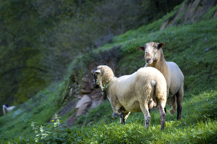 Herd of sheep in the pasture on the mountainside Lamb Pasture Animal Themes Day Domestic Animals Grass Grazing Green Color Lamb Lambs Livestock Mammal Mountain Nature No People Outdoors Pasture, Paddock, Grassland, Pastureland Sheep Sheep Farm Sheep Ranch Sheeps Togetherness