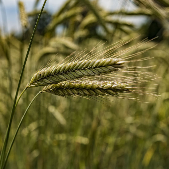 cornfield Agriculture Cereal Plant Close-up Crop  Day Daylight Ear Of Wheat Field Focus On Foreground Growth Nature No People Outdoors Plant Rural Scene Schleswig-Holstein Tranquility Wheat