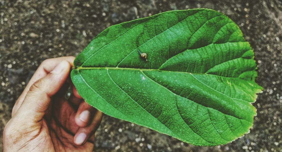 🐌 EyeEm Best Shots EyeEm Nature Lover EyeEmNewHere EyeEm Selects EyeEm Gallery Awesome_shots Awesome First Eyeem Photo Monsoon Human Hand Leaf Holding Close-up Green Color Plant Tiny Bug Animal Antenna Snail Mollusk Gastropod Water Drop Animal Shell Symbiotic Relationship Insect