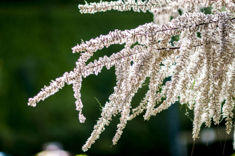 Close-up of frozen flower tree during winter