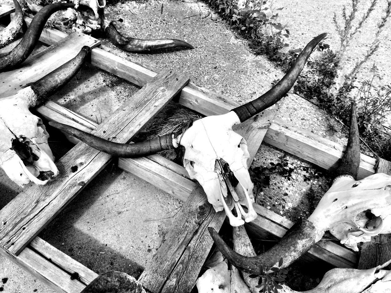 High Angle View Of Cattle Skulls On Farm