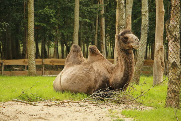 Bactrian camel in an animal park Bactrian Camel Camelus Bactrianus ZOO-PHOTO Zoo ZooLife Animal Animal Photography Animal Themes Animals Animals In The Wild Camel Camels Chordata Day Domestic Animals Mammal Mammalia Nature No People One Animal Outdoors Zoo Animals  Zoo Photography  Zoophotography