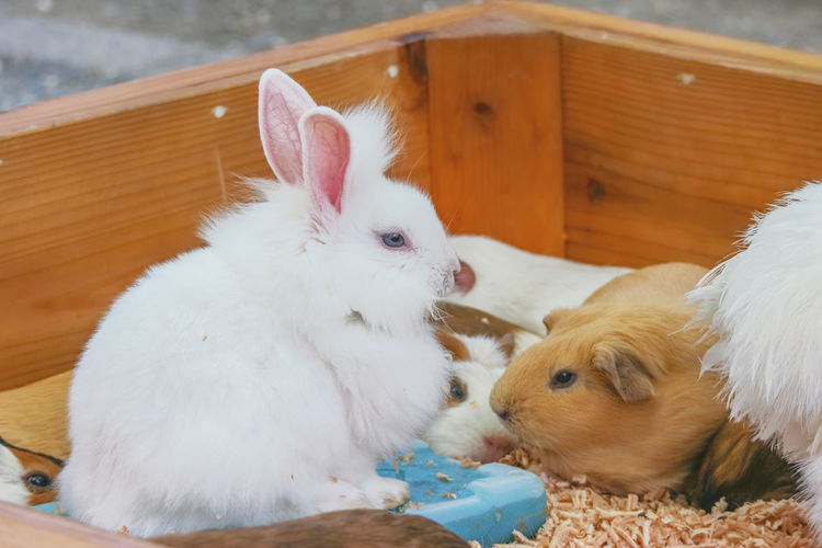 lovely cute adorable rabbit bunny with guinea pig live together from organic farm. Friend Life Nature Natural Eye Innocent Lifestyle Day Season  Guinea Pig Cute Fluffy Rabbit Fur Background Brown Animal White Mammal Bunny  Furry Domestic Red Pet Rodent Sitting Adorable Baby Small Farm Little Hare Funny Love Wildlife Group Organic Garden Sweet Warren Family Agriculture Village Wild Zoo Young Ear Feed  Outdoor
