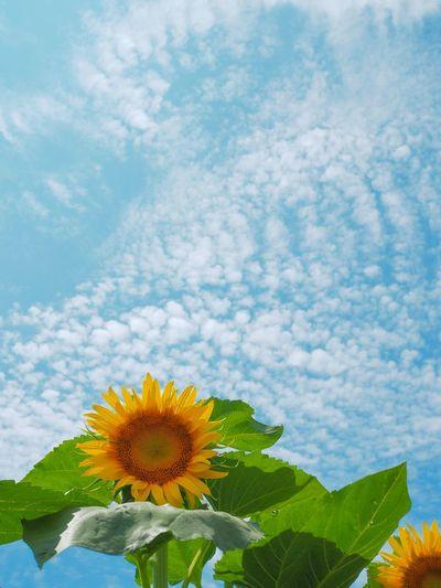 住宅街の中のひまわり畑。 Sunflower Sunflowers Field Flower Freshness Leaf Petal Flower Head Plant Yellow Sky No People Summer Cloud - Sky Olympus OM-D E-M5 Mk.II 路上駐車は絶対に絶対にダメだよ。ちょっと面倒だけど、公共交通機関を使いましょう🚃🚌👟