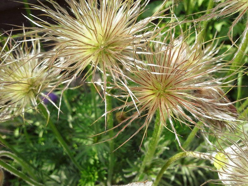 Spooky Flowers Kuhschelle nach der Blüte Zwanzig15