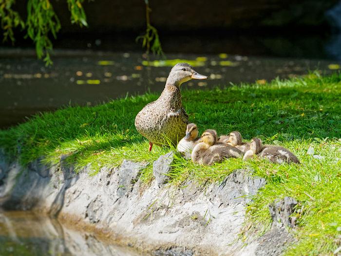 Duckling Class