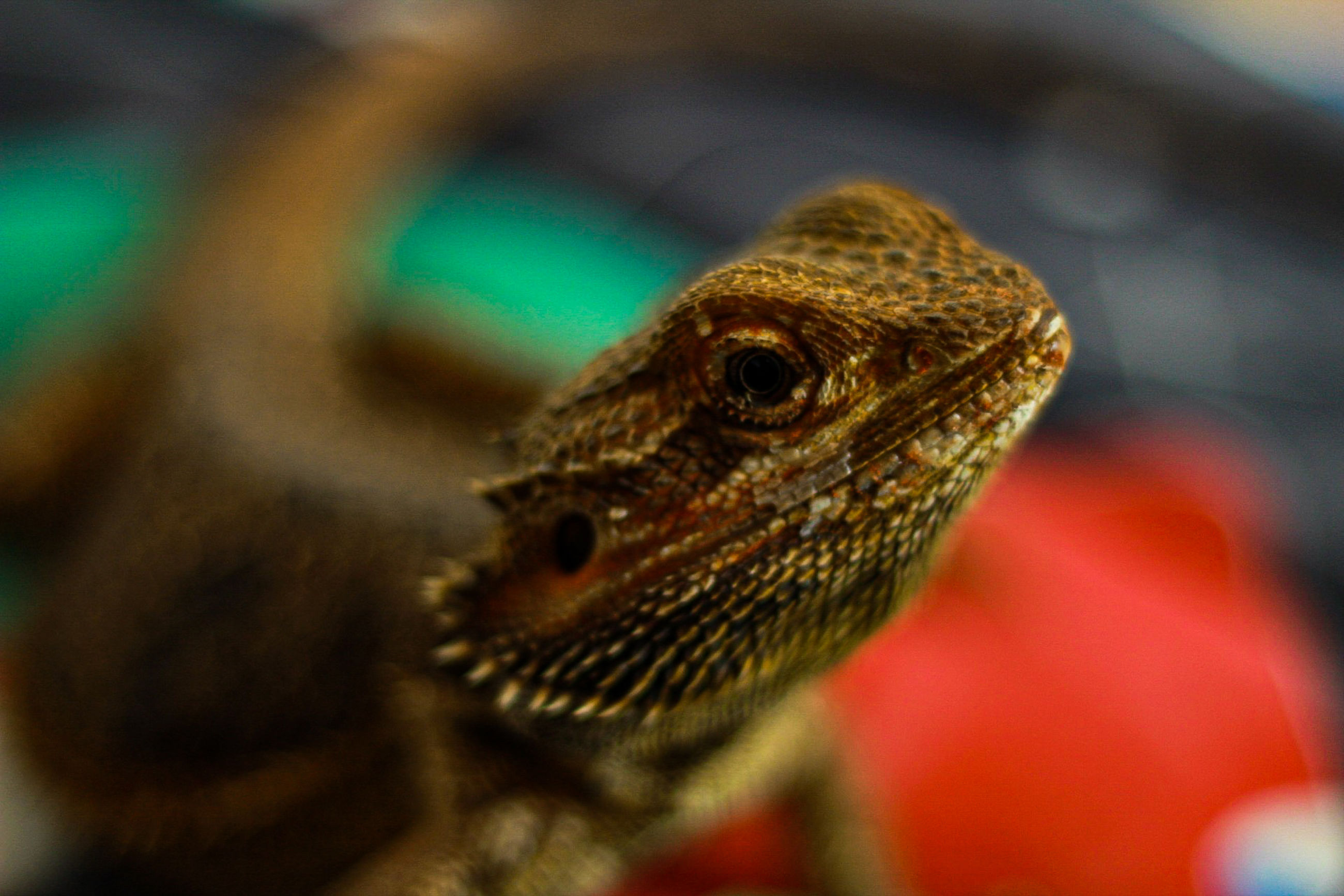 one animal, animal themes, reptile, animal, lizard, animal wildlife, close-up, animals in the wild, vertebrate, selective focus, bearded dragon, animal body part, no people, animal head, focus on foreground, nature, day, natural pattern, looking, outdoors, animal scale, animal eye