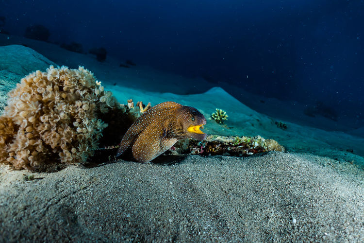 Moray eel Mooray lycodontis undulatus in the Red Sea, eilat israel a.e Sea Underwater Animal Wildlife Animal Animals In The Wild Water Animal Themes UnderSea Sea Life One Animal Marine Invertebrate Coral Nature Swimming Beauty In Nature No People Vertebrate Fish Ecosystem