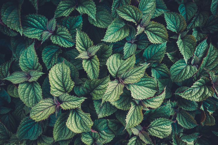 Full frame green foliage background. Above Backgrounds Beauty In Nature Close-up Closeup Day Environment Foliage Full Frame Green Color Greenery Growth Leaf Leaves Macro Natural Nature No People Outdoors Pattern Plant Vegetation