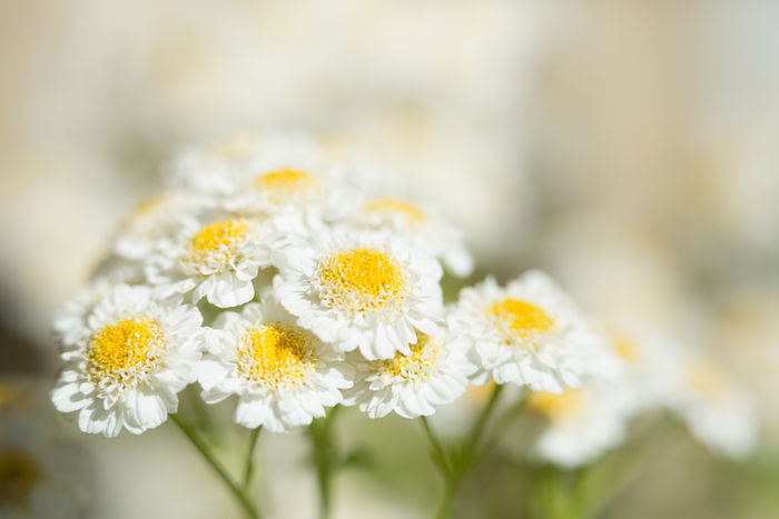 Feverfew blossoms Flower Beauty In Nature Freshness Nature Macro Close-up White Flower White Feverfew Herb In My Garden Flowers