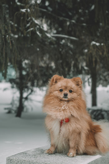 Winter portrait of a german spitz on a bench in the park
