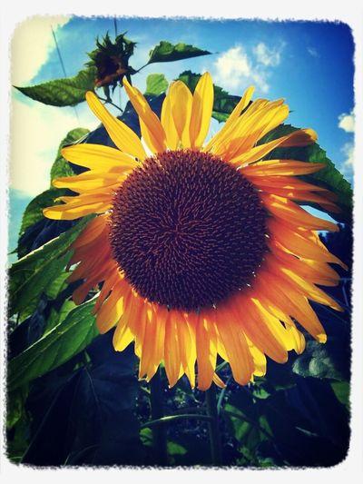 Sunflowers ?