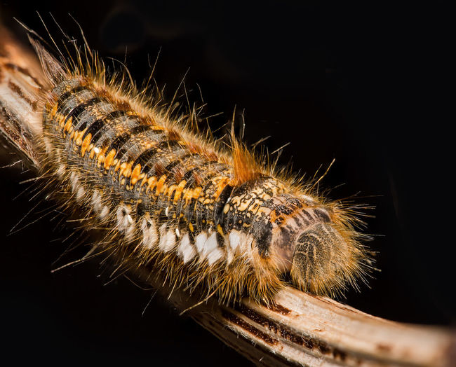 Drinker Moth Catapiller Animal Themes Animal Wildlife Animals In The Wild Black Background Catapiller Close-up Day Drinker Moth Nature No People One Animal Outdoors Reptile Studio Shot