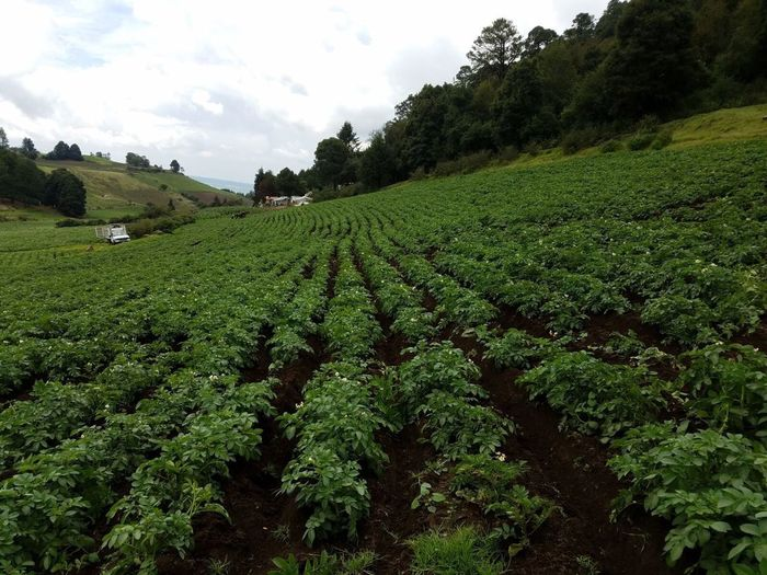 Planting potatoes in Mexico Agriculture Nature Growth Green Color Field Farm Landscape Beauty In Nature Rural Scene Outdoors Tranquility Scenics Day Sky Plant Mountain No People No Filter No Filter, No Edit, Just Photography