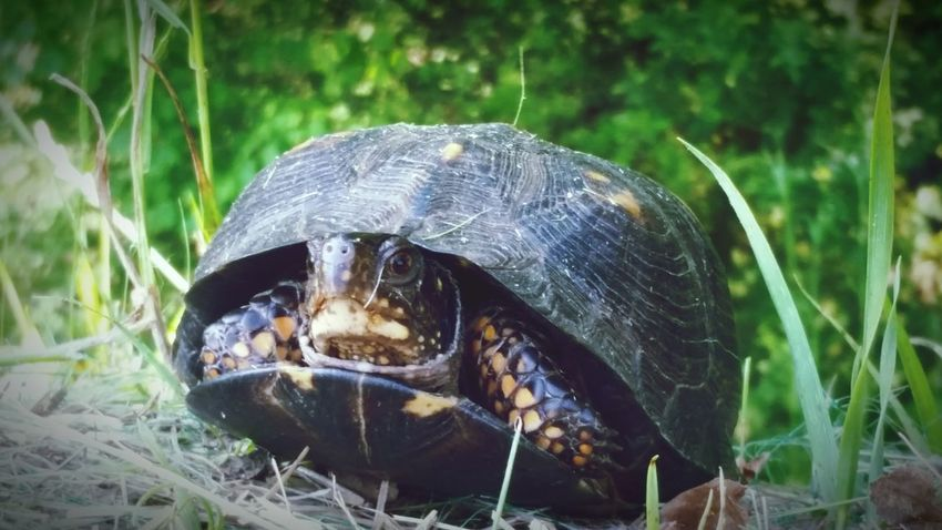 Turtle Tortoise Tortoise Shell Animals In The Wild Reptile One Animal Animal Wildlife Animal Themes Grass Day Outdoors No People Close-up Nature