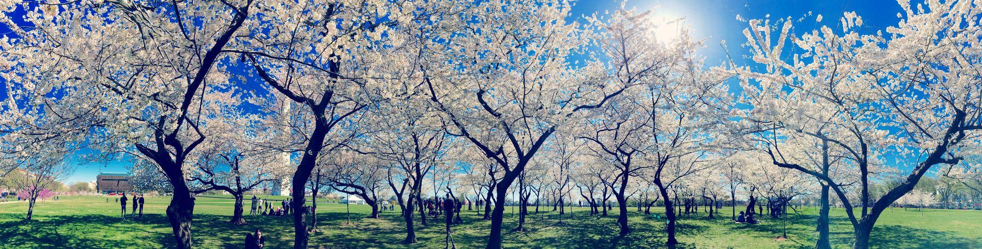 Cherry Blossoms Nature Photography Naturelover Panoramicshot Taking Photos Travel Photography Washington, D. C.