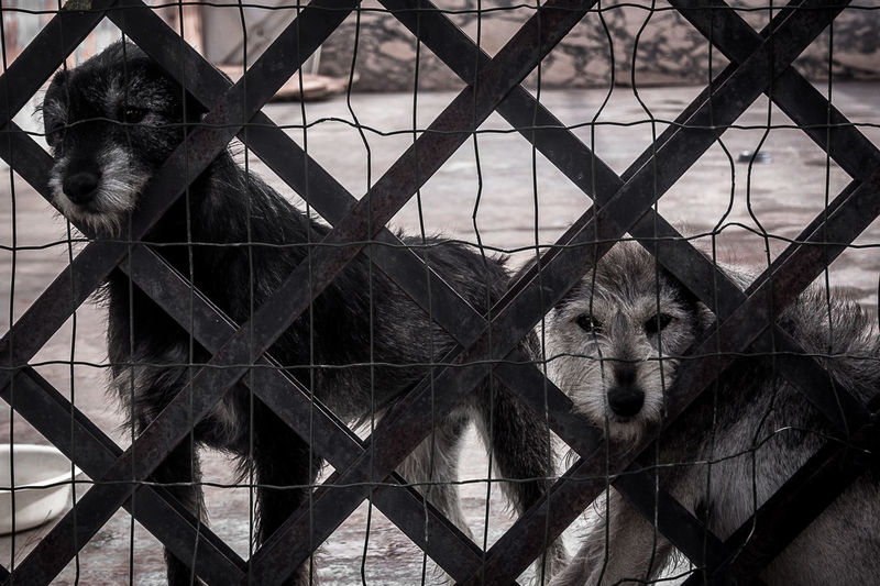 Dogs seen through fence