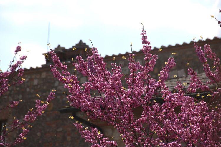 Italia Tuscany Toskana Day Plant Tree Pink Purple Pink Color Pink Trees Pink Tree House Italien House