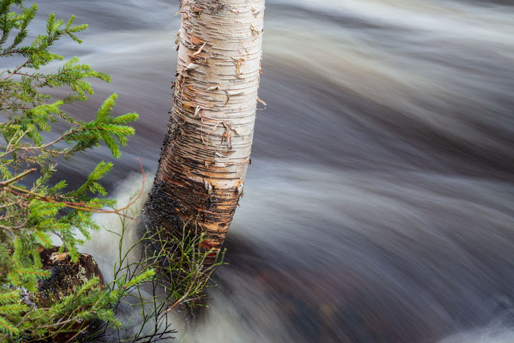 A birch tree