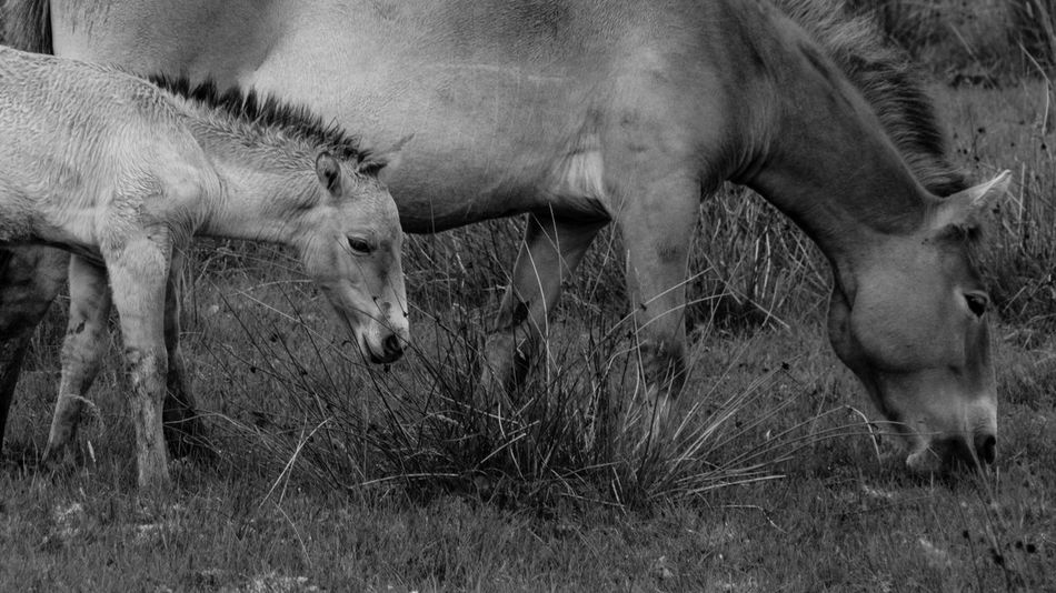 The Highland Wildlife Park on a rainy day. Horses Przewalski's Horse Rain Scotland Animal Themes Animals Black And White Day Field Foal Grass Grazing Highland Wildlife Park Monochrome Nature No People Outdoors Scottish Highlands Wildlife