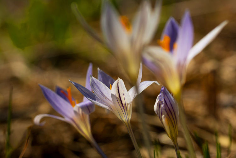 Close-up of white crocus flowers