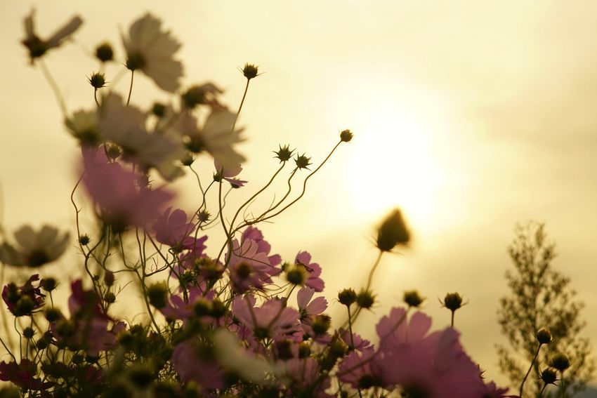 Capture The Moment Fragility Silhouette Sunlight Flower Cosmos Beauty In Nature Depth Of Field Bokehlicious Uzuki Of The Flower Defocused Nature Fine Art Photography Tranquility Getting Inspired Pink Color Growth Fantasy Full Frame Detail Sony A7RII Oldlens Takumar EyeEm Best Shots 17_10 EyeEmNewHere