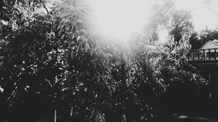 Tree Lens Flare Sunlight Front Or Back Yard Outdoors Day Growth Sky No People Nature Building Exterior Architecture Water Greenhouse Freshness Black And White Friday