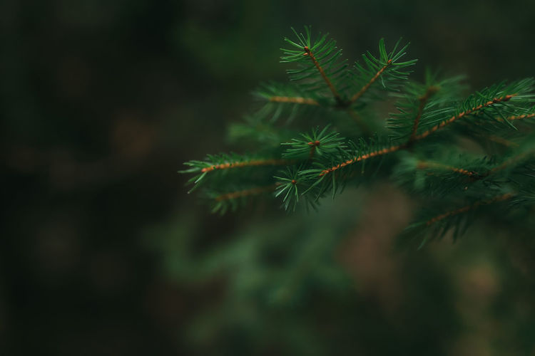 Christmas tree branches, close up of pine needles. high quality photo