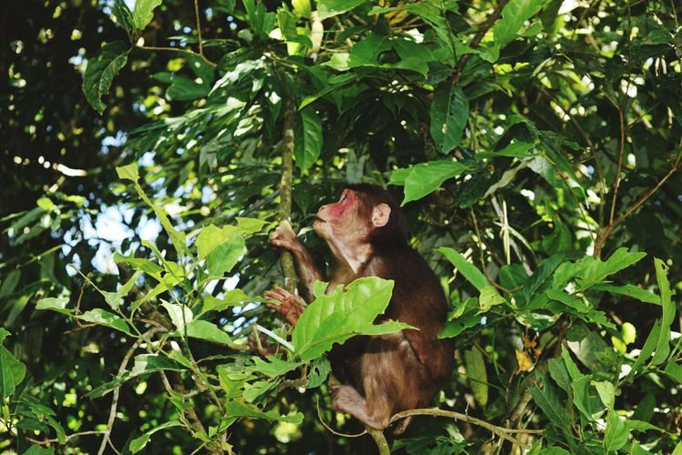 Stump Tailed Macaque Primate Wildlife Wildlife & Nature Wilderness Gibbon Wildlife Sanctuary Mariani Jorhat,Assam Northeastindia Leaf Close-up Green Color Plant
