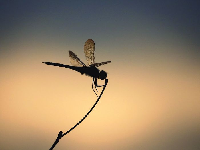 Low angle view of dragonfly on twig against sky during sunset