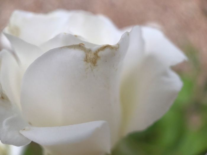 Flower Petal Flower Head Fragility Beauty In Nature Nature Freshness Close-up Growth White Color Rose - Flower Plant No People Outdoors Day Blooming Moment Lens Shot On Moment