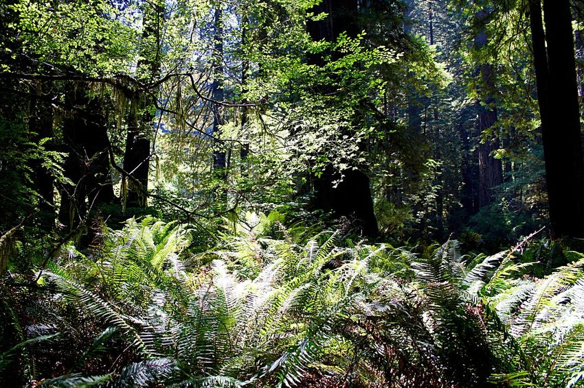 Prairie Creek Redwoods State Park Prairie Creek Forest In The Forest Magic Forest Protecting Where We Play Nature_collection EyeEm Nature Lover Beautiful Nature Naturelovers Nature Photography