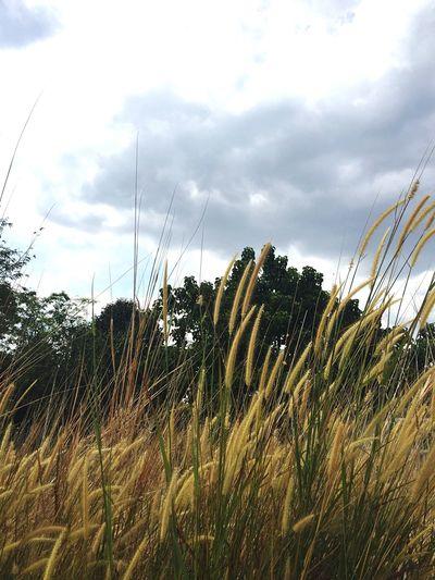 Lalang kaki gunung Jerai Kedah
