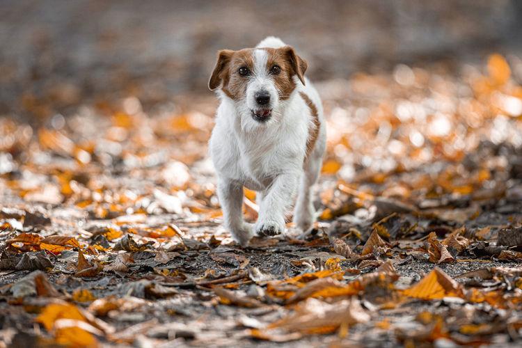 Close-up portrait of dog running on land