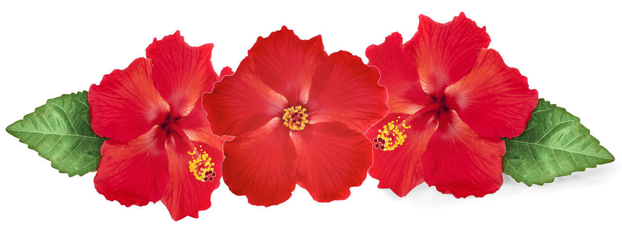 Close-up of red flowering plant against white background