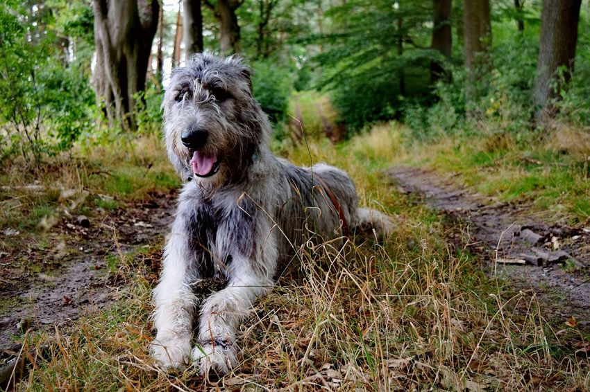 Taking Photos Check This Out Hanging Out Green Green Green!  Bokeh Summertime Showcase August Holiday 2016 August2016 Summer 2016 Take A Walk The Places ı've Been Today Irish Wolfhound Dogslife Cearnaigh Dogs Of Summer Dog Of The Day Dog Of My Life Dog Of Eyeem How Is The Weather Today? Dogs Of EyeEm Dogwalk Forestland Altmark Deep In The Woods