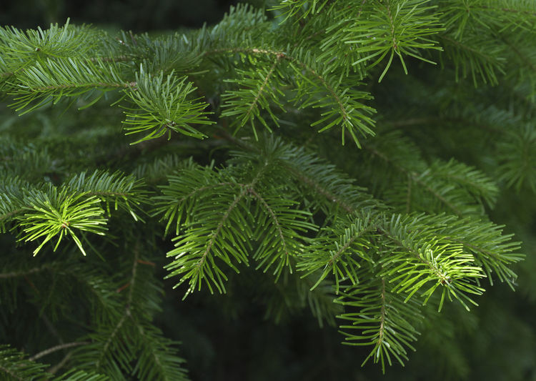 Green spruce branches as a textured background. Beauty In Nature Branch Close-up Coniferous Tree Day Focus On Foreground Freshness Green Green Color Growth Leaf Leaves Nature Needle - Plant Part No People Outdoors Pine Tree Plant Plant Part Selective Focus Tranquility Tree Tree; Green; Spruce; Fir; Environment; Forest; Nature; Tree Branch; Park; Plant; Forestry; Needle; Pine; Background; Decoration; Twig; Wooded; Urge; Lush; Trunk; Botany; Vegetation; Timberland; Detail; Coppice; Pine Forest; Wood; Coniferous; Conifer; Xmas