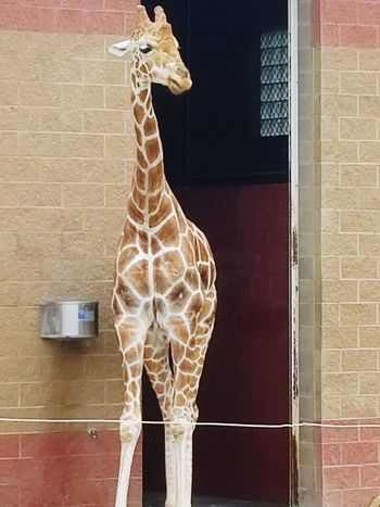 ZooLife Zoo Giraffe Giraffesarecool