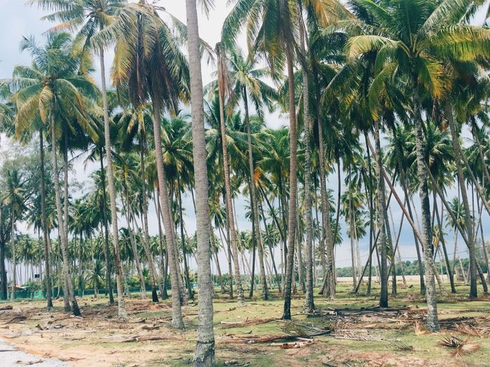 Pantai Penarik Relaxing Beach Beauty In Nature Coconut Palm Tree Countryside Day Greenery Growth Kampung Mangguk Kampung Style Landscape Malaysia Nature No People Outdoors Palm Tree Scenics Sky Tall Trees Tranquil Scene Tranquility Tree Tree Trunk
