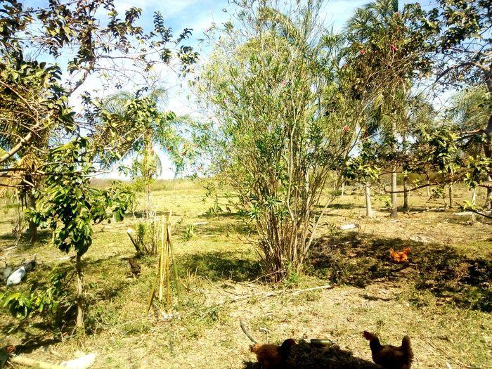 Quintal Mato Grosso Do Sul Ms Horta Quintal Brasil Casinha Simples Simplicidade Vacas Vida Gado Galinhas Chicken - Bird Frangos Plantas Tree Full Frame Backgrounds Sunlight Sky Calm Tranquility Countryside Greenery Flora Green Tranquil Scene Country House