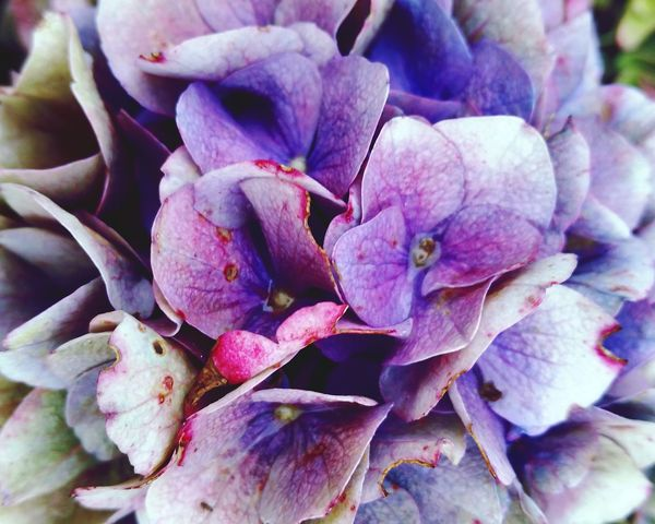 Close-up Flower Fragility Freshness Growth Beauty In Nature Nature Petal Flower Head Botany Hydrangea