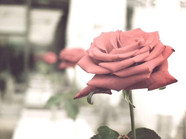 Roses Pride And Prejudice Natural Beauty