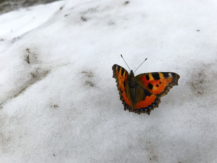 Close-up of butterfly on snow