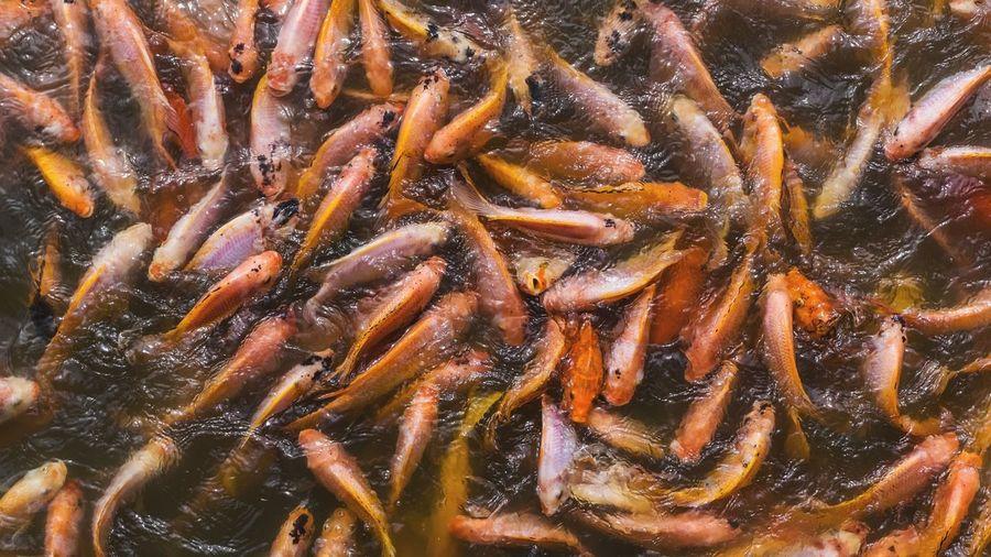 Many feedings nile tilapia in pond