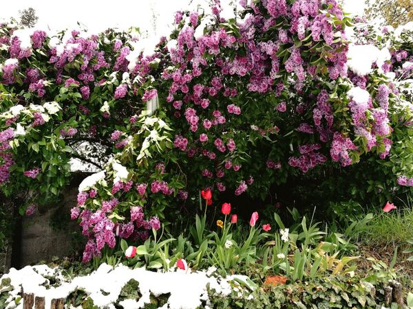 Nature Growth Outdoors Flower Winter Beauty In Nature Snow Day Cold Temperature Fragility Freshness Tree Plant No People Snow❄⛄ Blooming EyeEmNewHere Huawei P9 Photos Beauty In Nature Colors Pink Flower 🌸 April 2017 Snow In Spring Frozen Garden