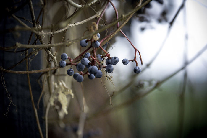 Autumn Depth Of Field Fall Colors Fruit Mood Nature No People Outdoors Parthenocissus Tree