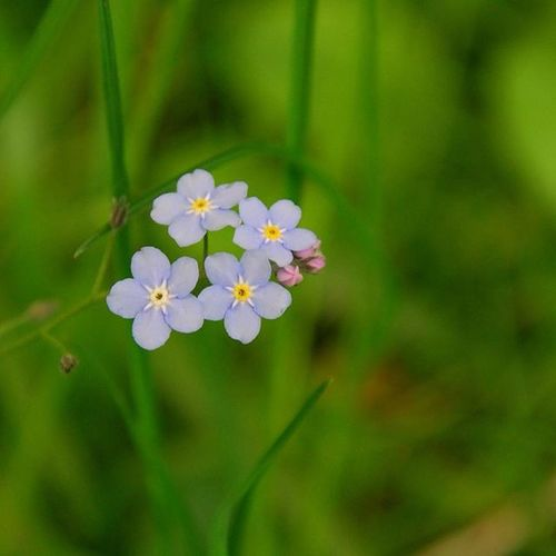 Forget Me Not Vergissmeinnicht Spring Spring Flowers Wild Flowers Alzheimers Society AlzheimersAwareness Remembrance Faithfulness  Enduring Love Fidelity  When This You See Remember Me