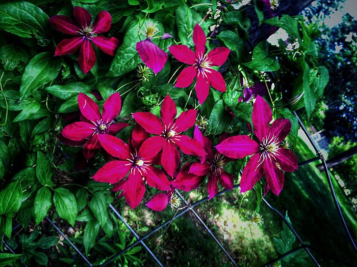 Howard Green Bay  Wisconsin Summer Flowers Enjoying Life Flowers Summertime Clematis