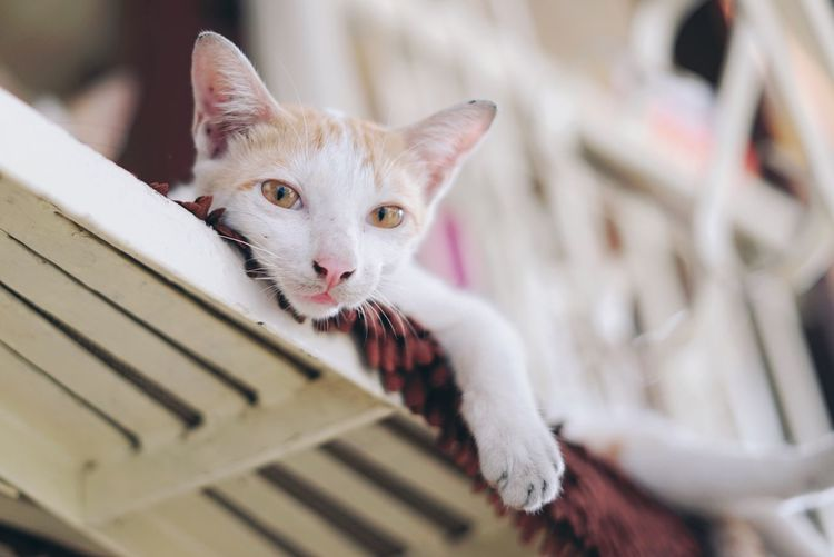 Domestic Cat Pets Domestic Animals Mammal Animal Themes Looking At Camera One Animal Portrait Feline Young Animal Kitten Cat Indoors  No People Close-up Day